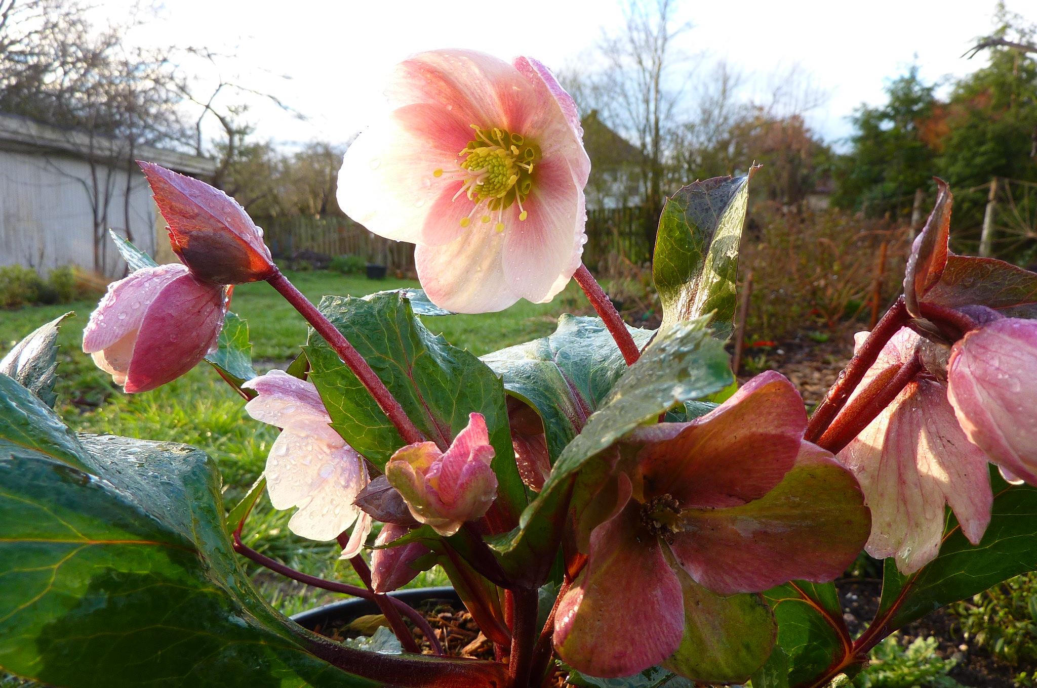 plant profile  helleborus  u0026 39 pink frost u0026 39