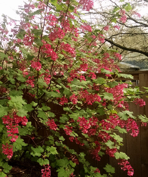 Ribes sanguineum 'King Edward VII' Red Flowering Currant